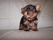 yorkie puppies for adoption (priselove@yahoo.com)