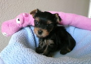 cheap charming yorkie puppies available now