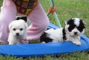 adoreble bichon for happy familly