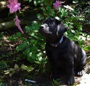 Labrador retriever Pups CKC Registered